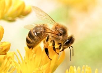 bugs honey bee
