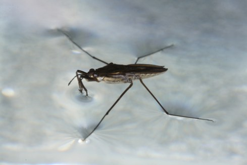 bugs-water-strider blog bugs insects Nature nature fact true bug
