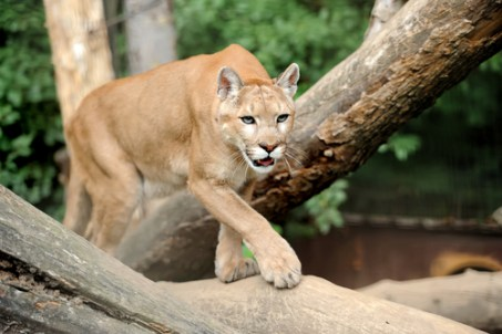 mountain lion, animal attacks, animals