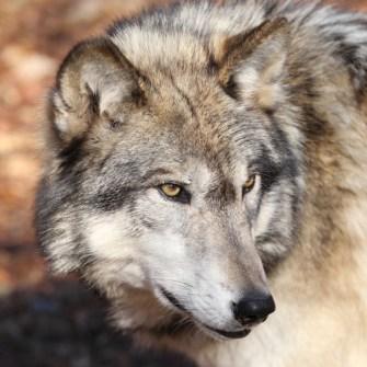mammals gray wolf head