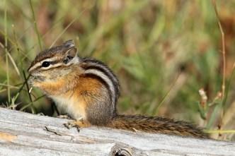 common mammals, least chipmunk
