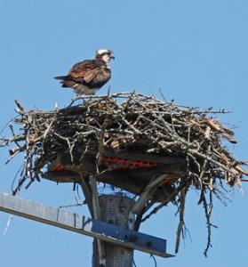 Platform nest, baby birds