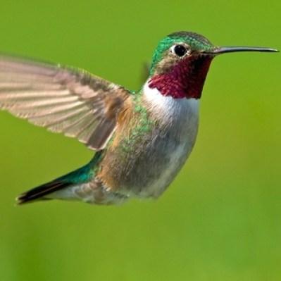 birds, bird, hummingbird