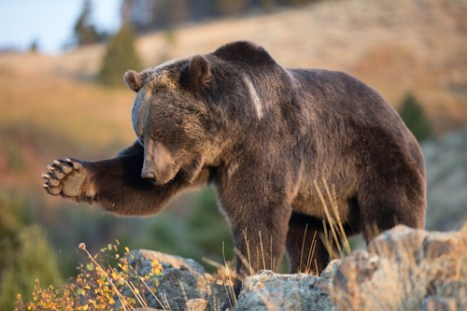 grizzly bear, dangerous animals, safety
