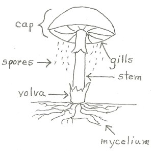 What Makes a Fungus a Fungus?  Jake's Nature Blog