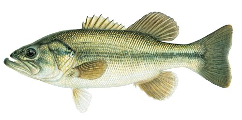 largemouth bass j tomelleri.jpg