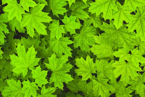 tree green maple leaves copy