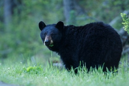 black bear, animal, fun fall facts