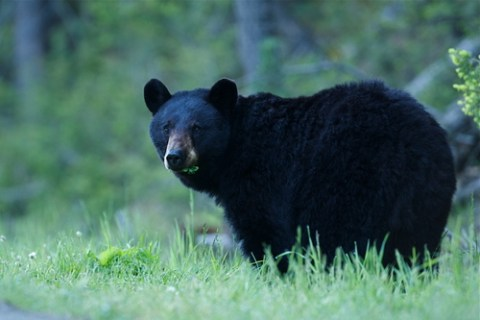 black bear, animal