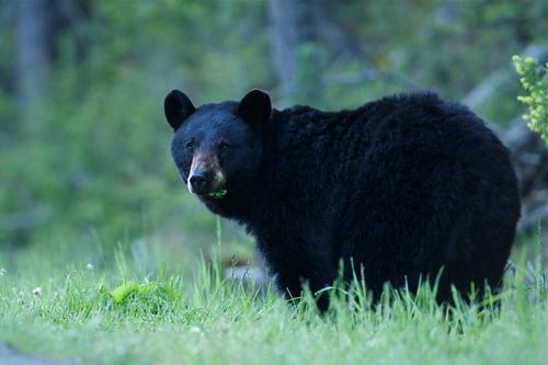 mammals black bear sow