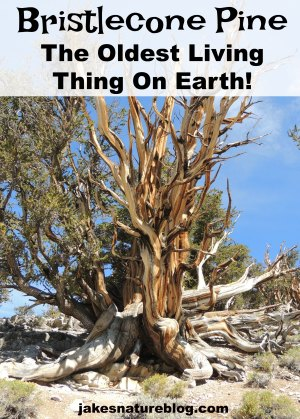 bristlecone-pine-pin-2 blog bristlecone pine jakes fun facts about nature methuselah Nature oldest living thing outdoors
