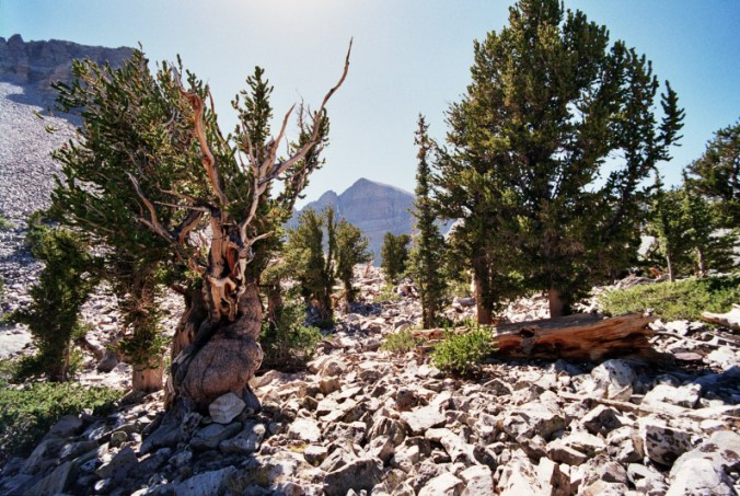 bristlecone-pine blog bristlecone pine jakes fun facts about nature methuselah Nature oldest living thing outdoors