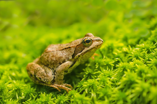 frog small