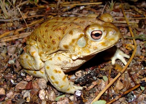 toad sonoran.jpg
