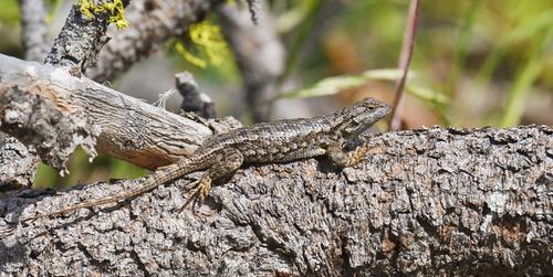 amphibians sagebrush lizard 2.jpg