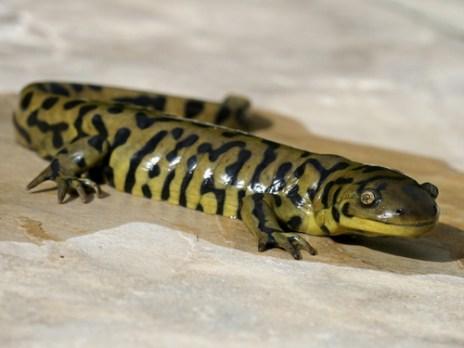 regenerate, animal, salamander