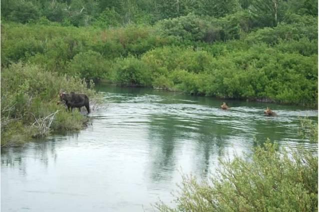 moose facts, female, calves