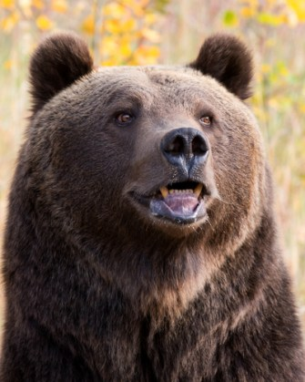 mammals-grizzly-bear-head about nature amphibians animals birds blog bugs characteristics classification fish insects jakes fun facts about nature mammals Nature reptiles