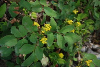 creeping oregon grape, common wildflowers rocky mountains