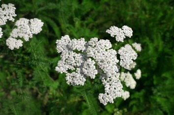 yarrow, common wildflowers rocky mountains