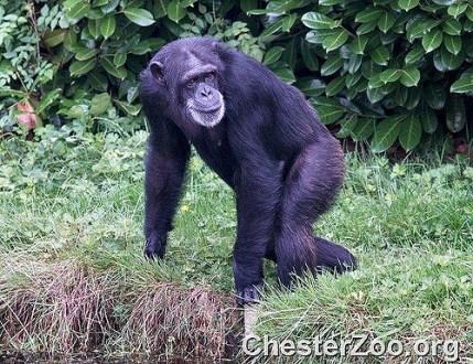 dna, humans, chimpanzee