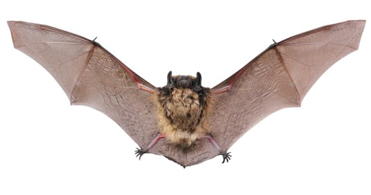 echolocation, brown bat