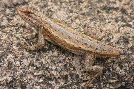 regenerate, lizard, new tail