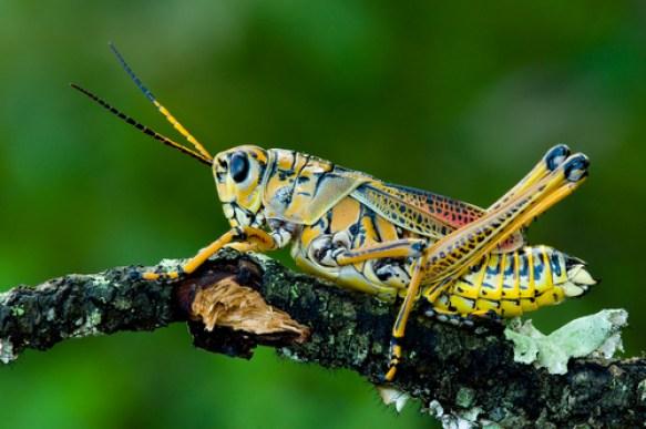 dissect, grasshopper, bug, animal