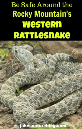 rattlesnake-pin animal blog dangerous Nature rattlesnakes reptile reptiles