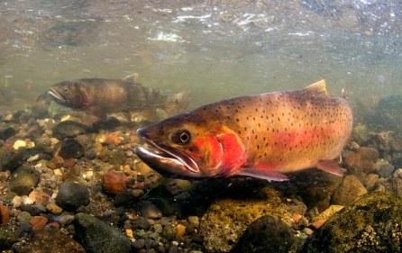 spawn, cutthroat trout, fish