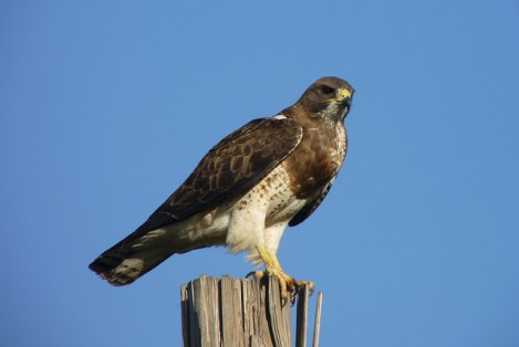 long distance migrating bird, swainson's hawk, bird