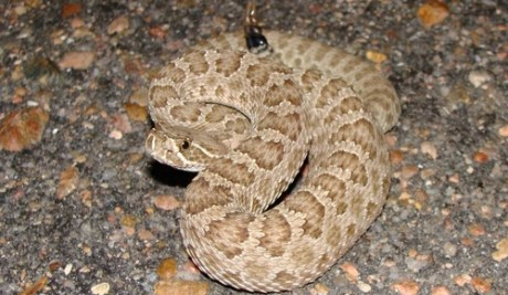 animal attacks, rattlesnake