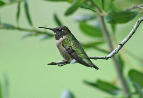 hummingbird, bird, migrate