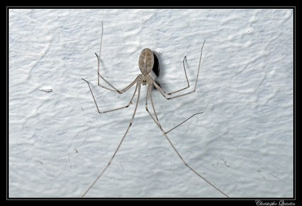 daddy longlegs, house spider