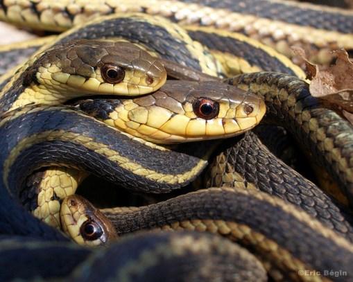 snakes in winter, hibernacula