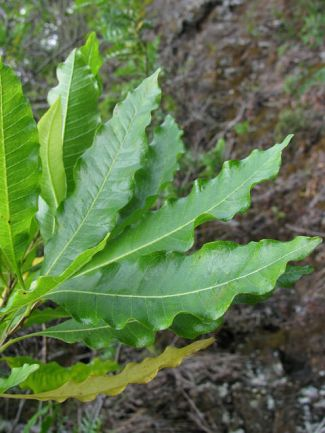 leaf edges