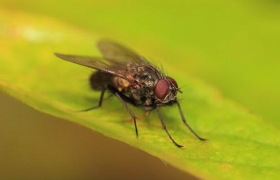 flies rub, legs, housefly
