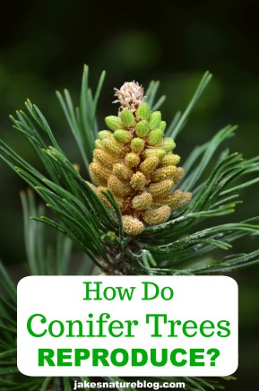 conifer-reproduce-pion blog conifer evergreen Nature pine tree reproduction trees