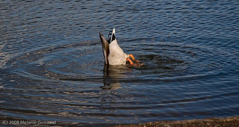 duck upside down
