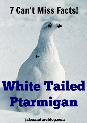 white tailed ptarmigan
