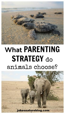 animal parenting strategy