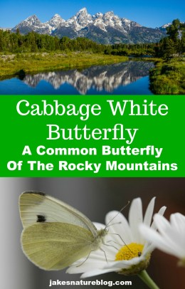 cabbage-white-rockies-pin blog bugs butterfly cabbage white insects Nature nature facts New Zealand rocky mountains