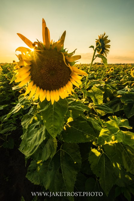 Summer Sunflowers, Saint Louis, MO