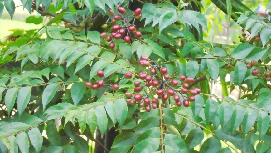 The Murraya koenigii (L.) Spreng (Curry Leaf tree) is seen with brown fruit.