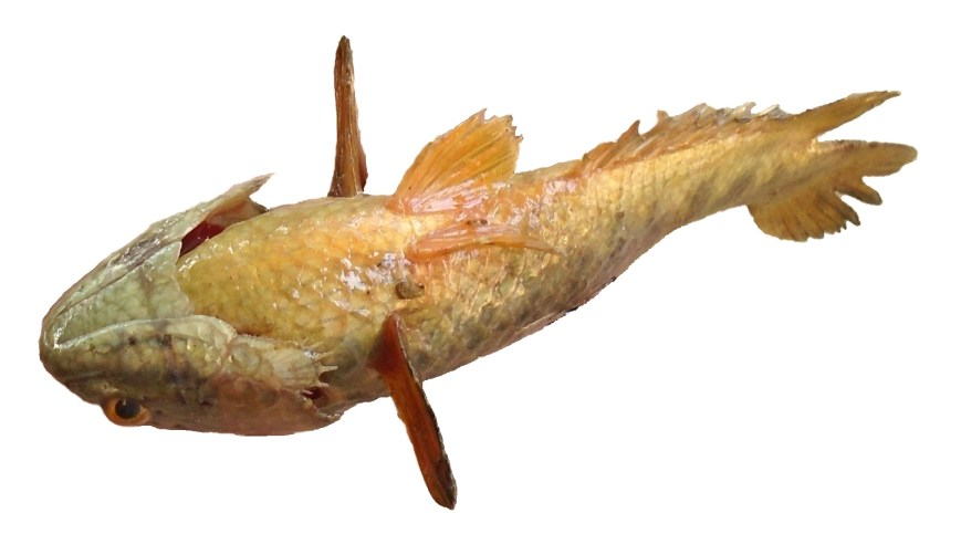 The bottom side of Climbing perch is seen.