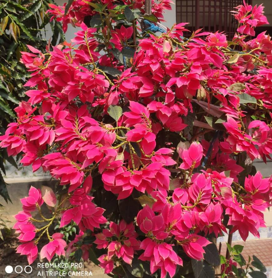 The red flower named Euphorbia pulcherrima (Poinsettia) is blooming.