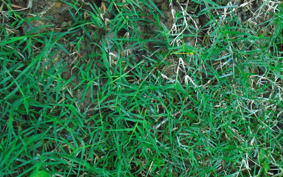 Bahama grass or dog's tooth grass or quick grass or star grass (Cynodon dactylon Li.) is growing on soil
