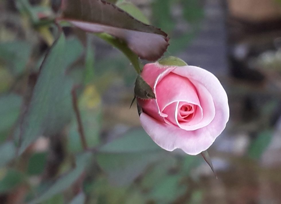blossom of a pink rose