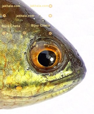 head of Anabas testudineus fish