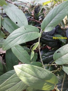 Close up of a branch of Chinese fever vine plant